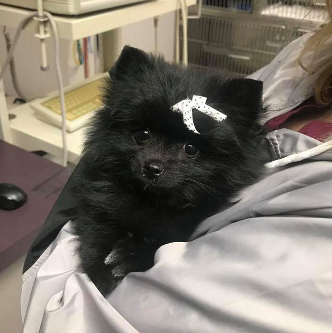 Animal Hospital at the Crossing - Champaign, Illinois; serving Pomeranian for exam