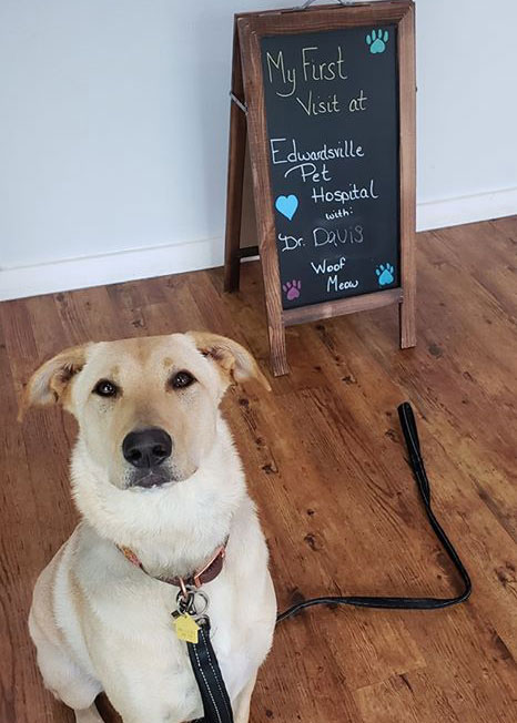 Edwardsville Pet Hospital - Lab Mix's first appointment